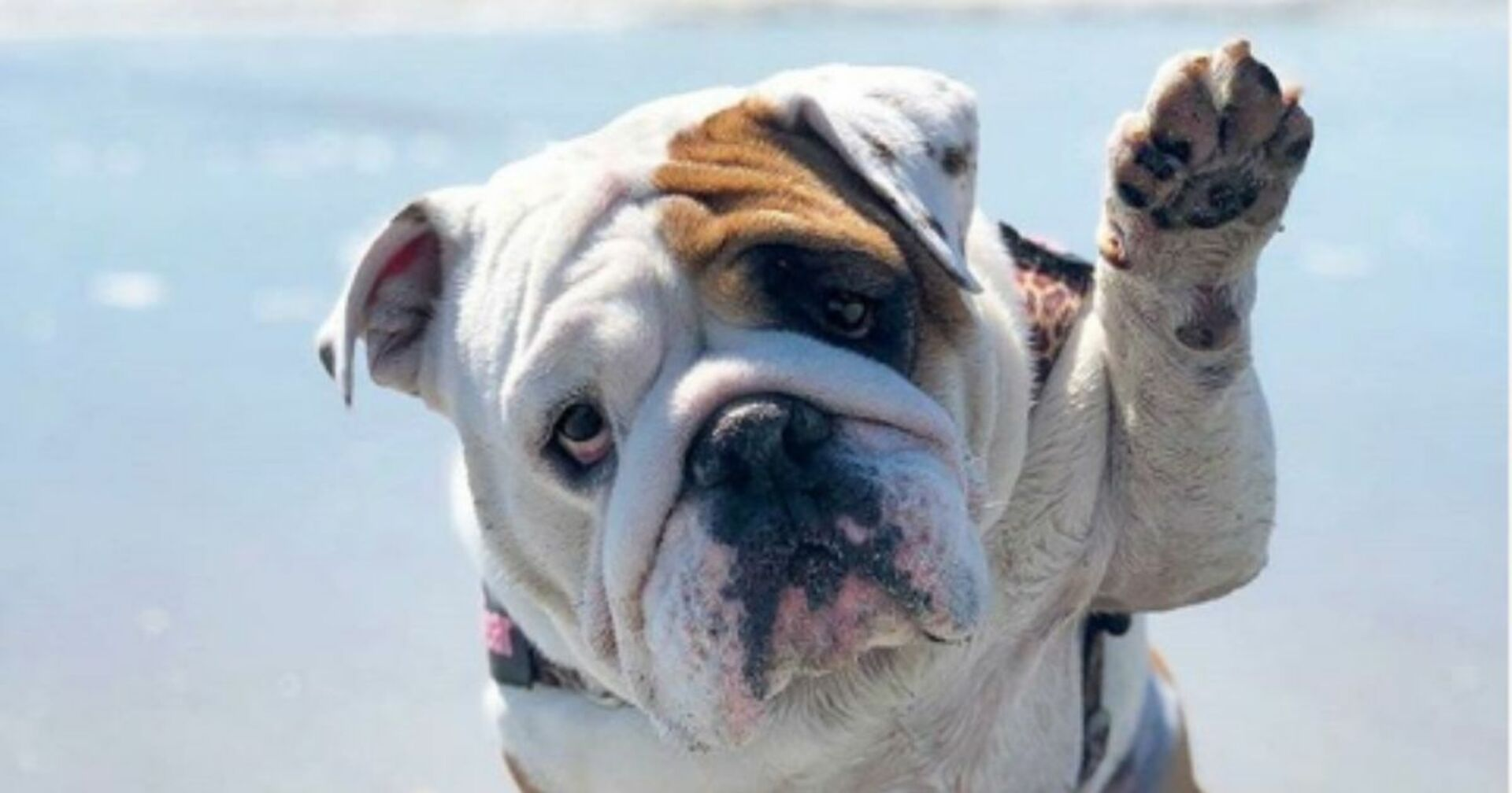 5 Most Expensive Dog Breeds In The Uk These Pooches Cost Big