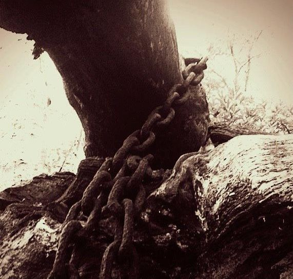 Chained Oak in the woodland close to Alton Towers theme park. Have you seen this in the flesh?