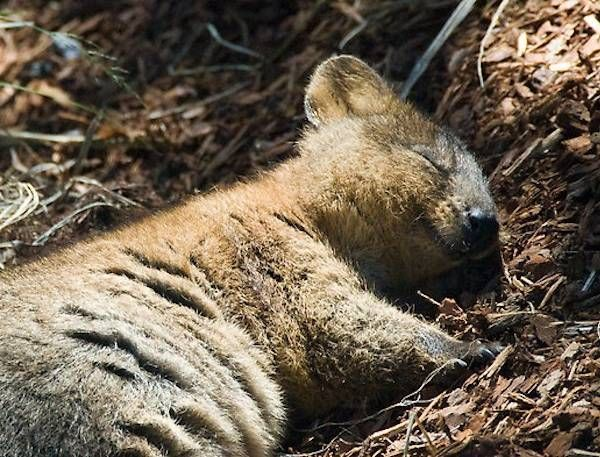 Adorable Pictures Of The Quokka The Happiest Animal On Earth - 15 photos that prove quokkas are the happiest animals in the world