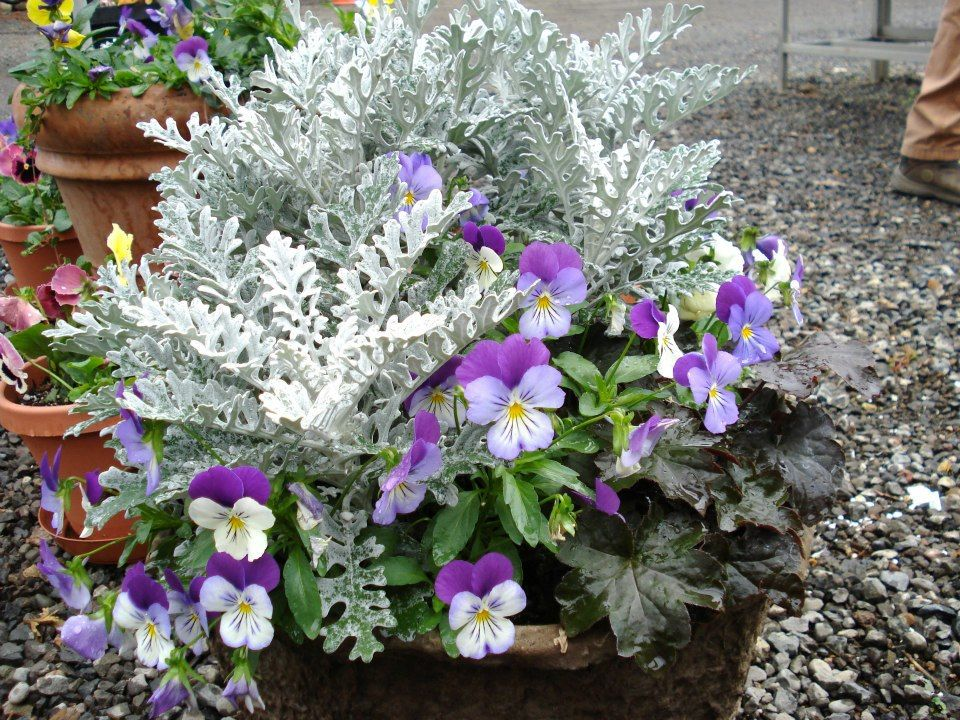 Winter Flowering Container Ideas Pansies Dusty Miller And Black Ajuga