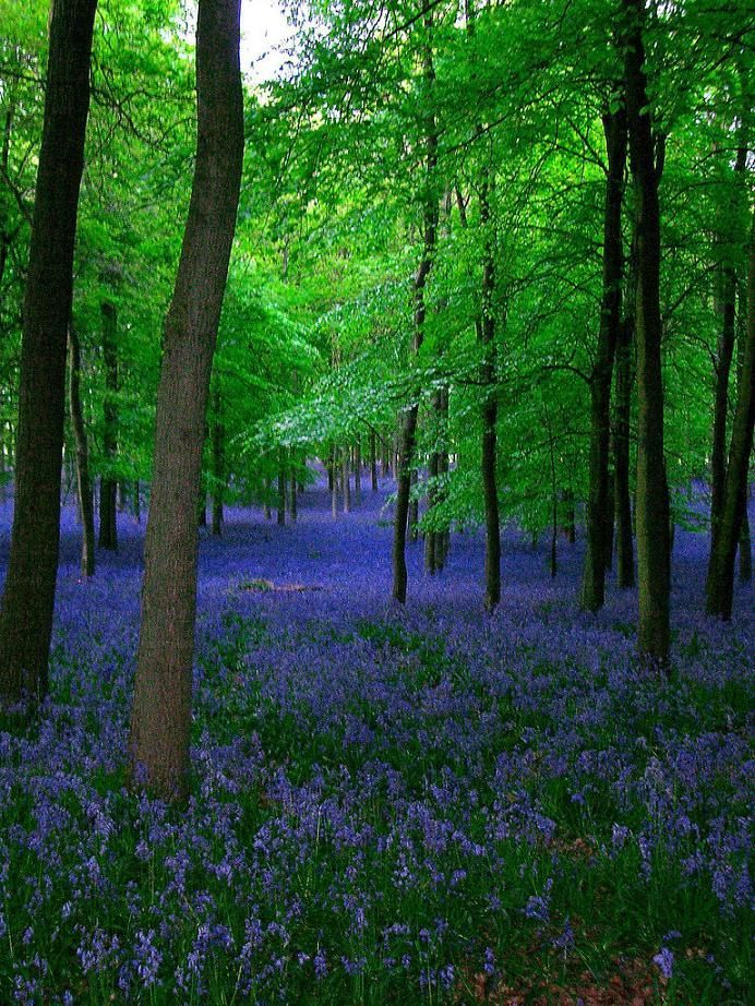Belle - Bluebells in Ashridge Forest, Hertfordshire, England - Today is a good day @ flickr - Pixdaus