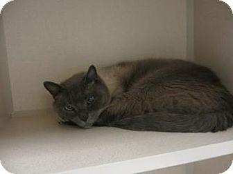 Waterford Ct Siamese Meet Eskimo A Cat For Adoption Kitten Adoption Cat Adoption Animal Shelter