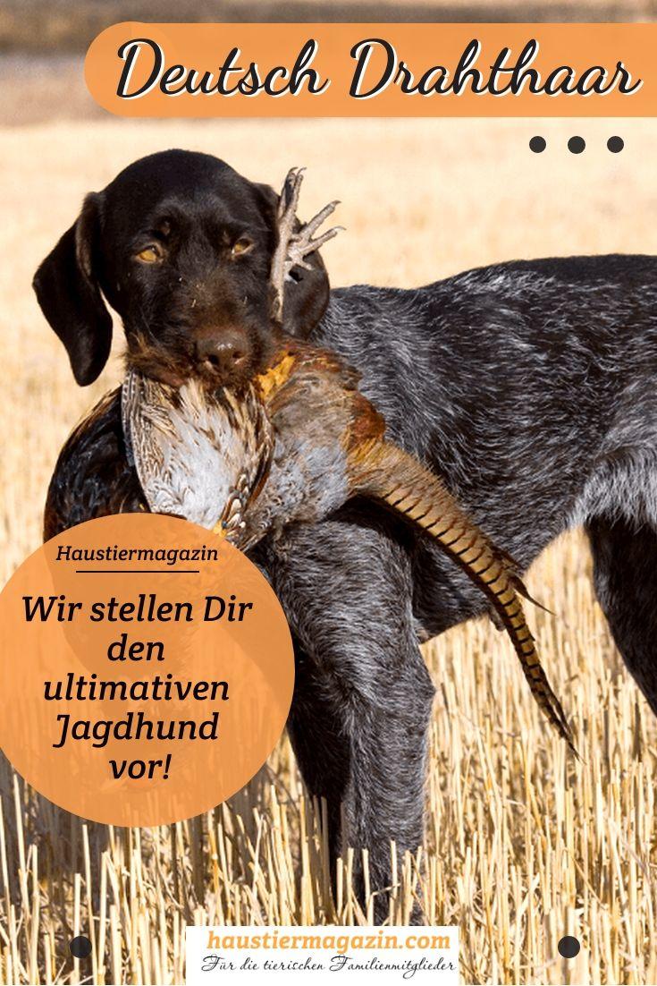 Deutsch Drahthaar Steckbrief Mit Fci Klasse Und Mehr Hunde Jagdhund Hunderassen