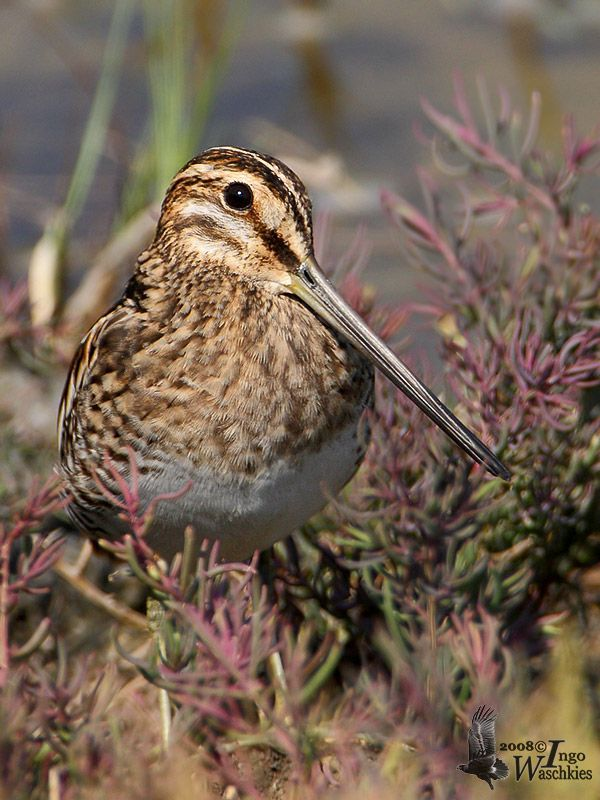 COMMON SNIPE - Gallinago gallinago . . . northern Europe and northern Asia. It is migratory, with European birds wintering in southern and western Europe and Africa (south to the Equator), and Asian migrants moving to tropical southern Asia.