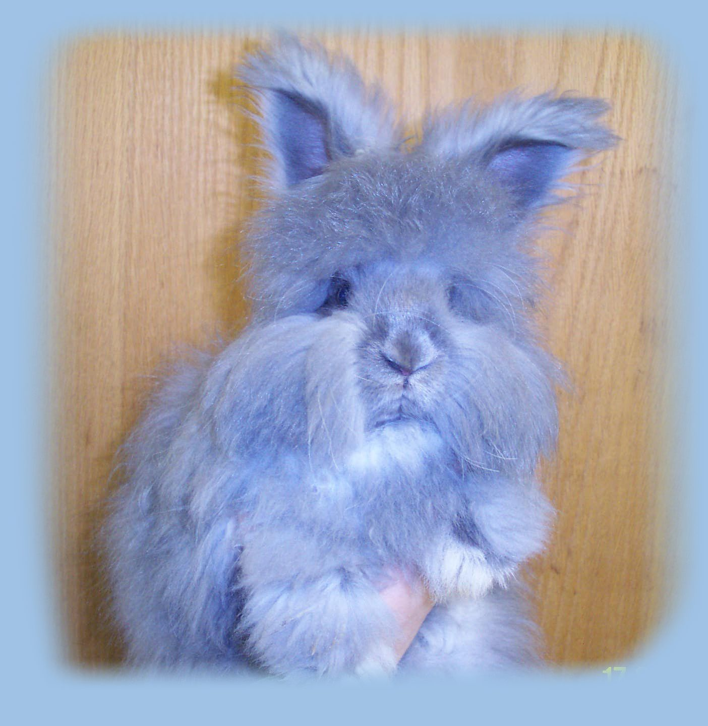 english angora baby bunnies expected new arrivals misc stuff