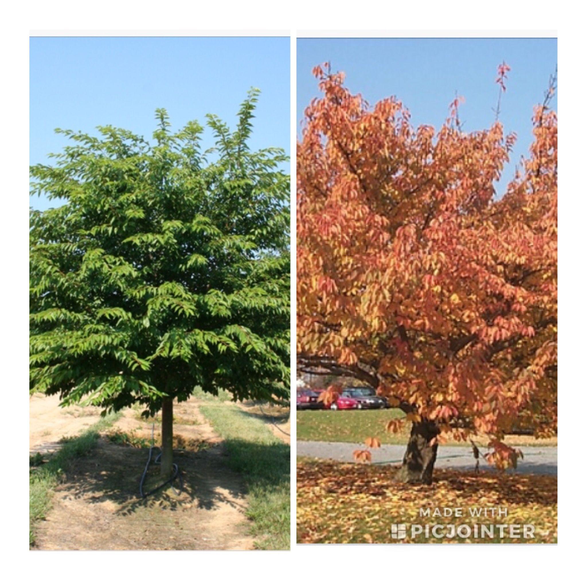 Summer And Fall Colors Yoshino Cherry Tree Yoshino Cherry Tree Yoshino Cherry Trees To Plant