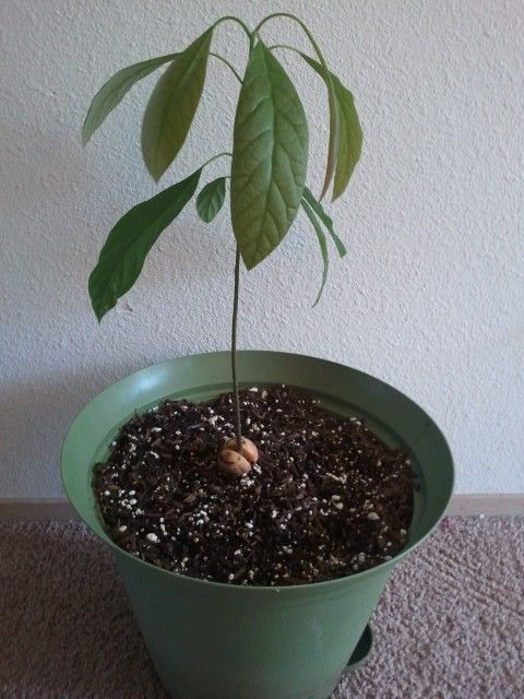 4 Pr Lessons From Growing An Avocado Tree A Story Of Perseverance Growing An Avocado Tree Avocado Tree Growing Plants