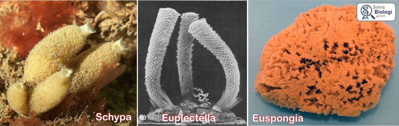 4600 Koleksi Contoh Gambar Hewan Porifera Terbaik