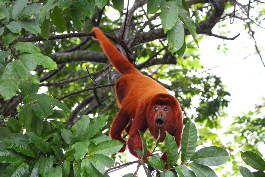 Pin En Primate Gorilla Monkey Orangutan Chimp Lemur Tamarind Ape Marmoset Tarsier Langur Baboon Mandrill