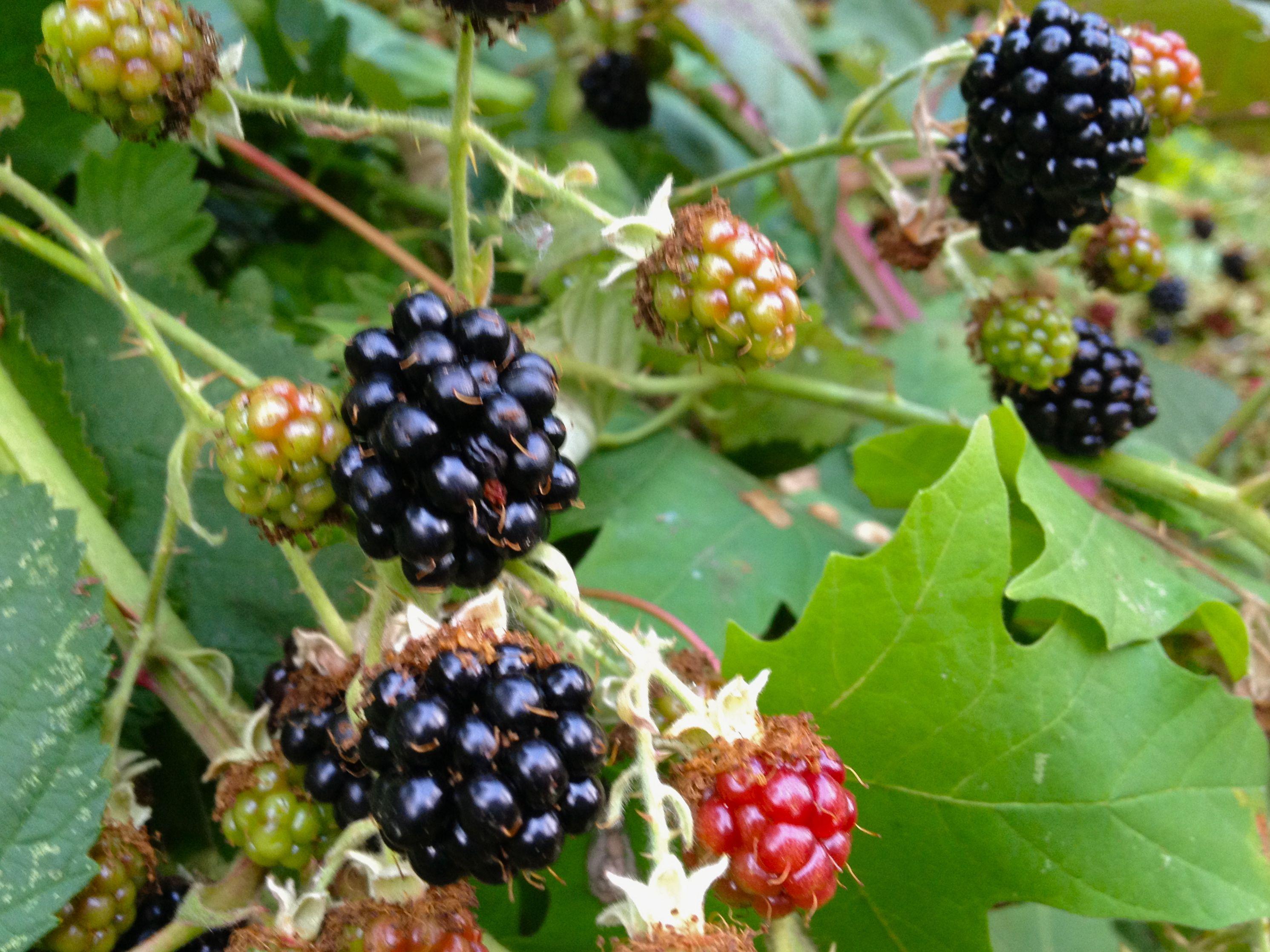 Blackberry habanero jelly habanero jelly jelly blackberry