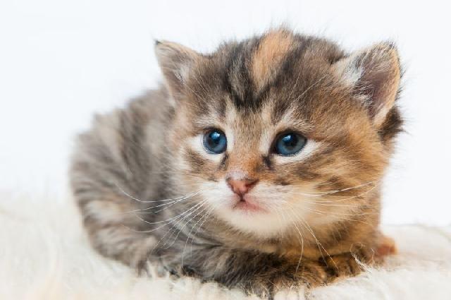 Famosos filhotes de gatos mais fofos do mundo - Pesquisa Google | teensy  IS92