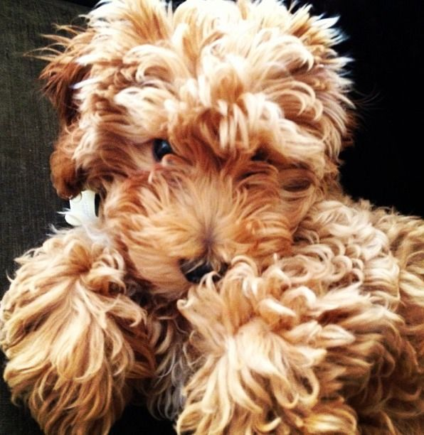 I Think That This Sweet Looking Dog Is An Unclipped Airedale