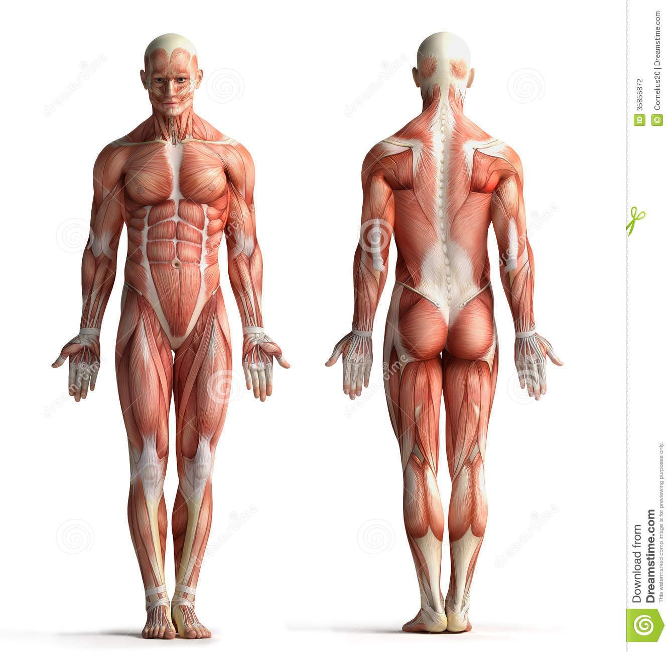 Male Anatomy View Front Back 35856872g 13371300 Anatomy
