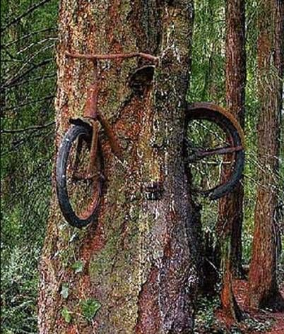 Old Bicycle Inside A Living Tree This Beautiful Image Gives An