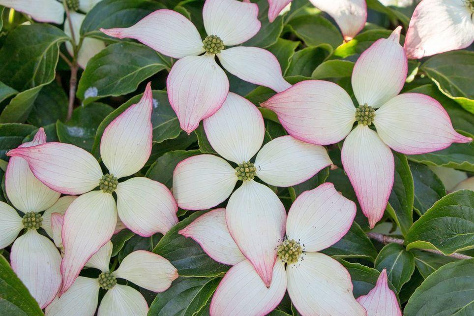 Japanischer Blumen-Hartriegel Laura Cornus kousa Laura