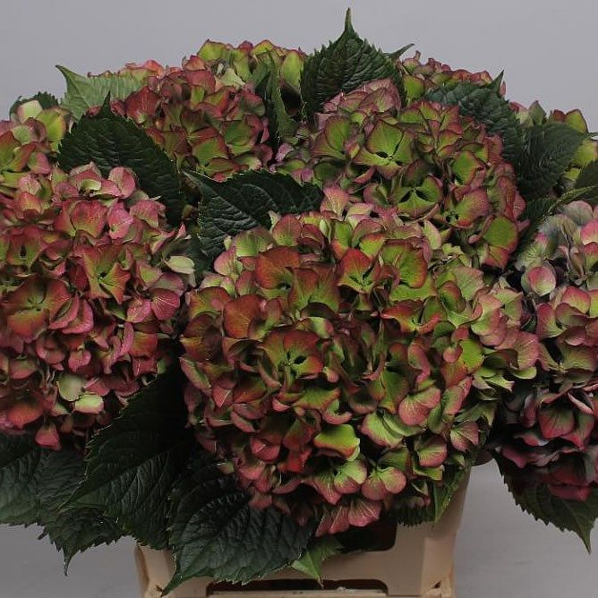 Rich Red Hydrangea Perfect For Autumn To Winter Weddings It Can Be Dried By Hanging Ups Table Flower Arrangements Hydrangea Arrangements Hydrangeas Wedding