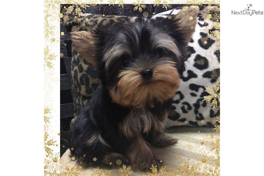 Yorkie Yorkshire Terrier Yorkie Puppy For Sale Near Houston