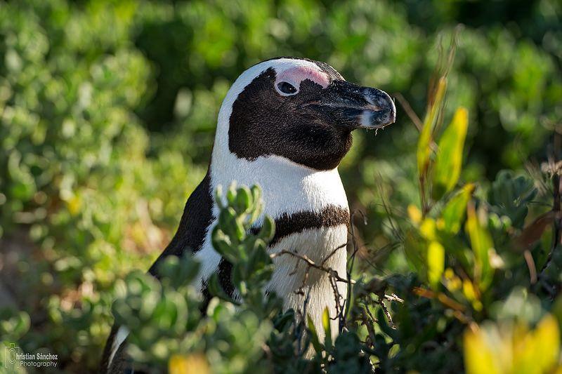 African penguin (Spheniscus demersus)  pingüino de El Cabo