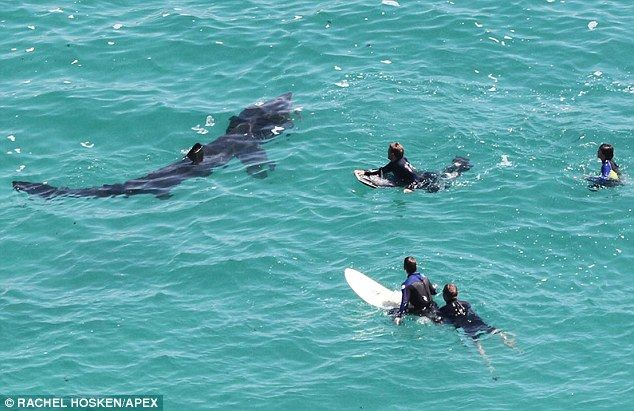 Swimming With Sharks Brave Surfers Share The Waves With