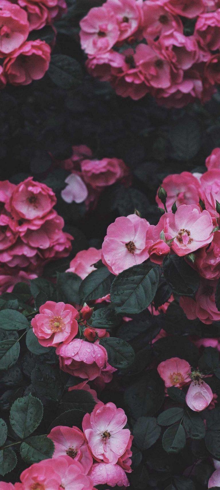 Wild Rose Rose Bush – [1080×2400] 4K