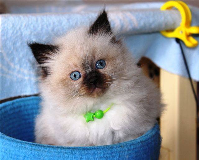 Ragdoll Kittens Gallery Ragdoll Cats And Kittens Kerikeri Northland New Zealand Ragdoll Kitten Ragdoll Cat Kittens