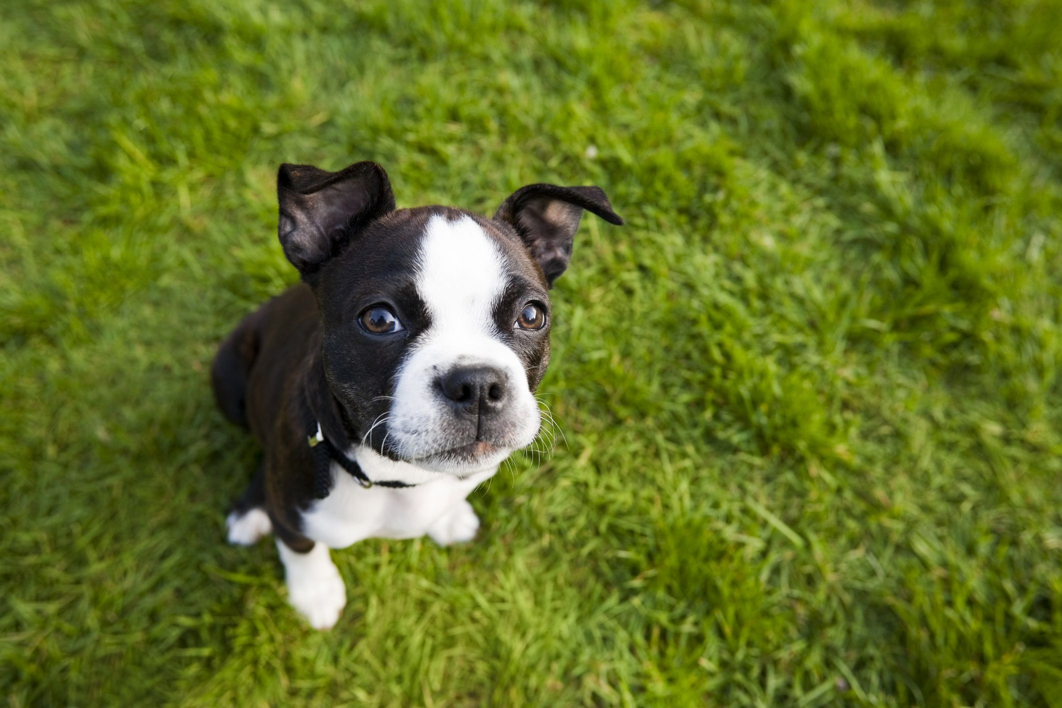 Boston Terrier #SmallDog | Best apartment dogs, Small dog ...