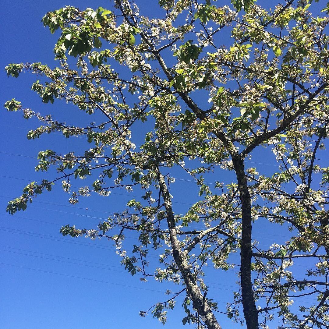 Cerejeira em flor no Douro na Quinta da Casa Amarela #quintadacasaamarela #vinhosportugueses #douro by laura_cavallieri