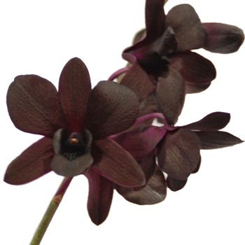 Burgundy Black Dendrobium Orchids Fiftyflowers Com Dendrobium Orchids Orchids Black Wedding Flowers