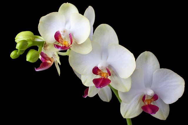 How To Care For Phalaenopsis Amabilis Orchids Moth Orchids