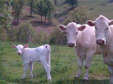 my beautiful charolais cows with a beautiful charolais calf!