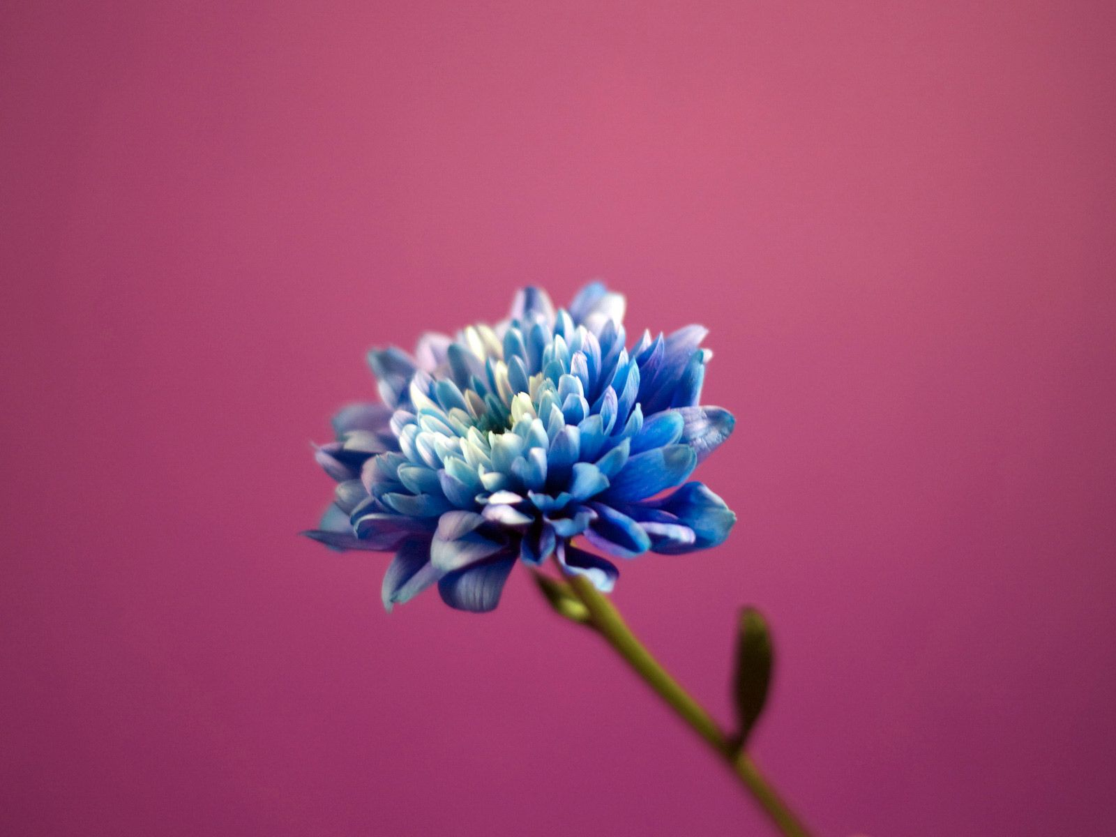 Blue Dahlia Blue Dahlia Flower Wallpaper Dazzling Dahlias