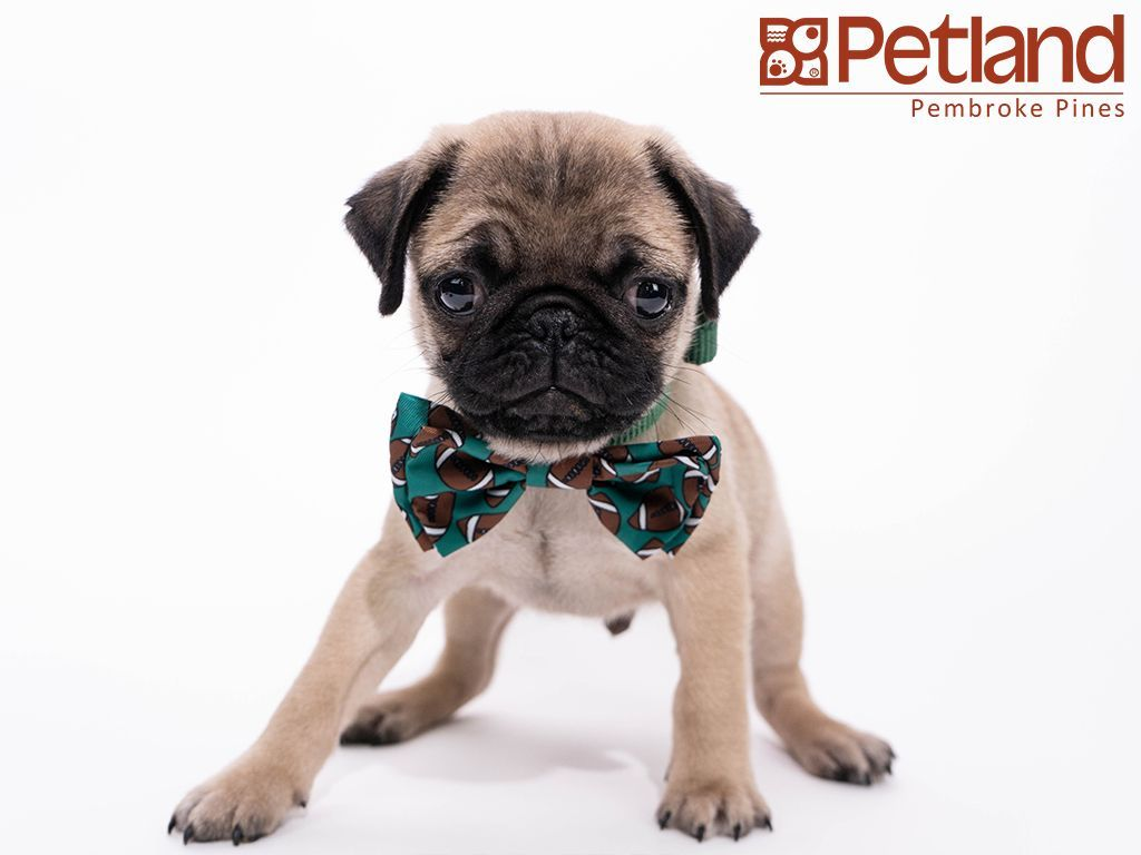 Petland Florida Has Pug Puppies For Sale Check Out All Our
