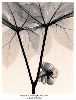 Podophyllum peltatum (May Apple) x-ray images