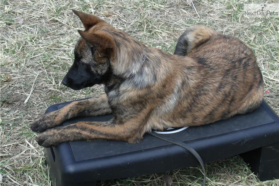Dutch shepherd for sale shepherd puppies dutch shepherd