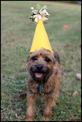 Happy First Birthday Baxter Border Terrier