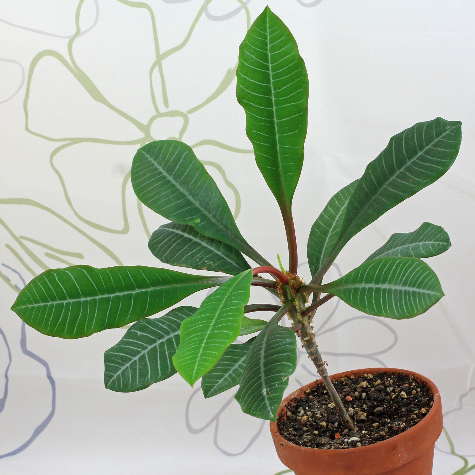 Euphorbia Leuconeura Living Art Plants Container Plants