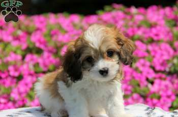 Crinkle, Cavachon puppy for sale in Paradise, Pa