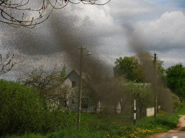 Mosquito swarm in Belarus. | Swarms | Pinterest | Cars, By ...