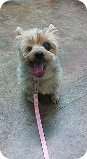 Yorkie Yorkshire Terrier Mix Dog For