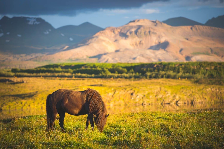 Coucher De Soleil Sur Les Chevaux D Islande Iceland Paysage Islande Islande Paysage