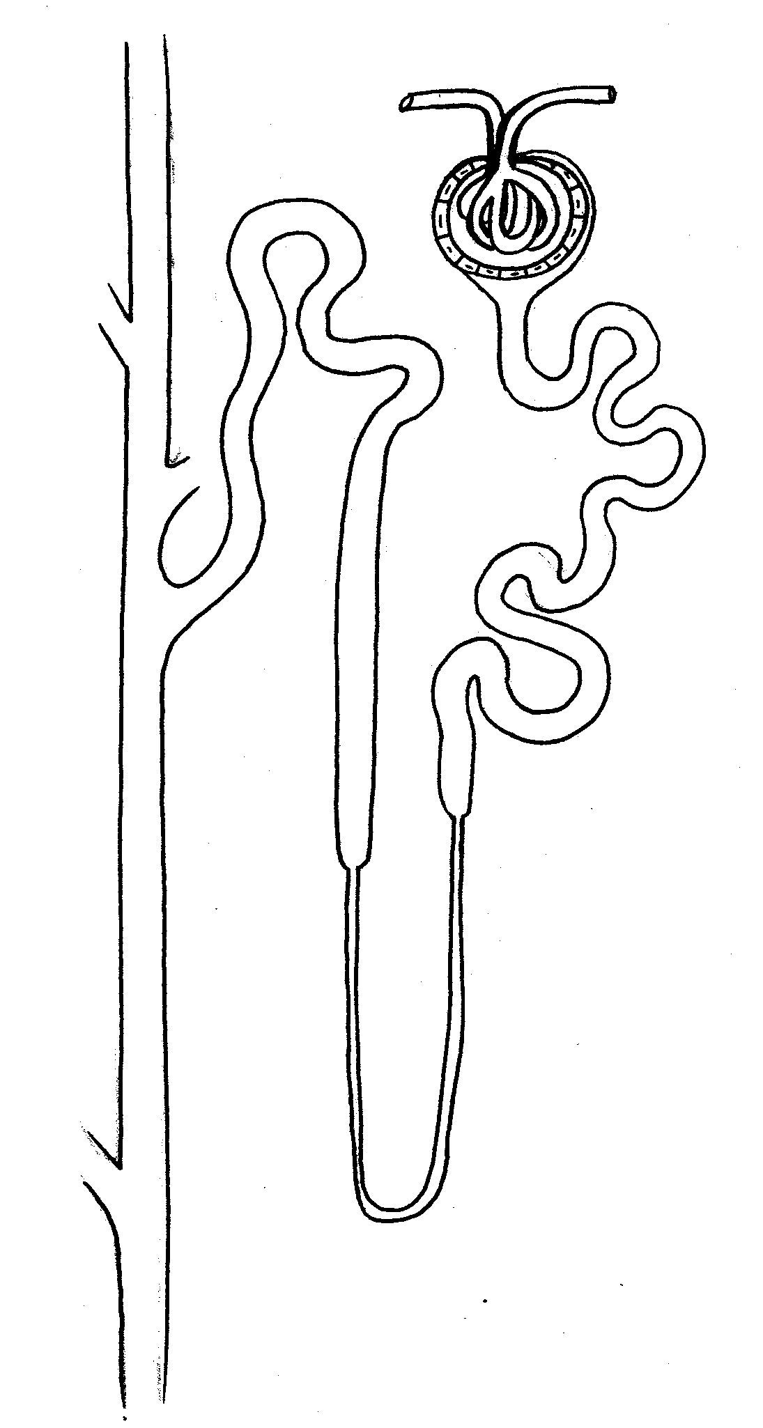 Kidney Nephron In