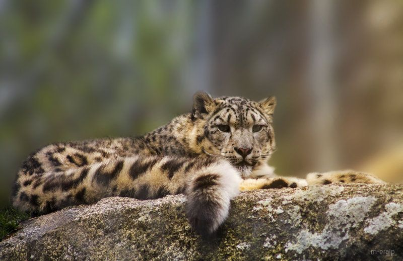Wild cat by m-eralp.deviantart.com on @deviantART