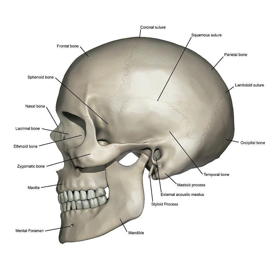 Human Anatomy Skull Pictures Human Anatomy Organs Human Anatomy