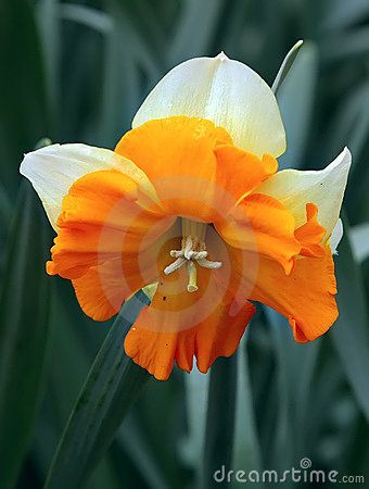 Flor Do Narciso 8181218 Jpg 340 450 Narcissus Flower Flowers Birth Month Flowers