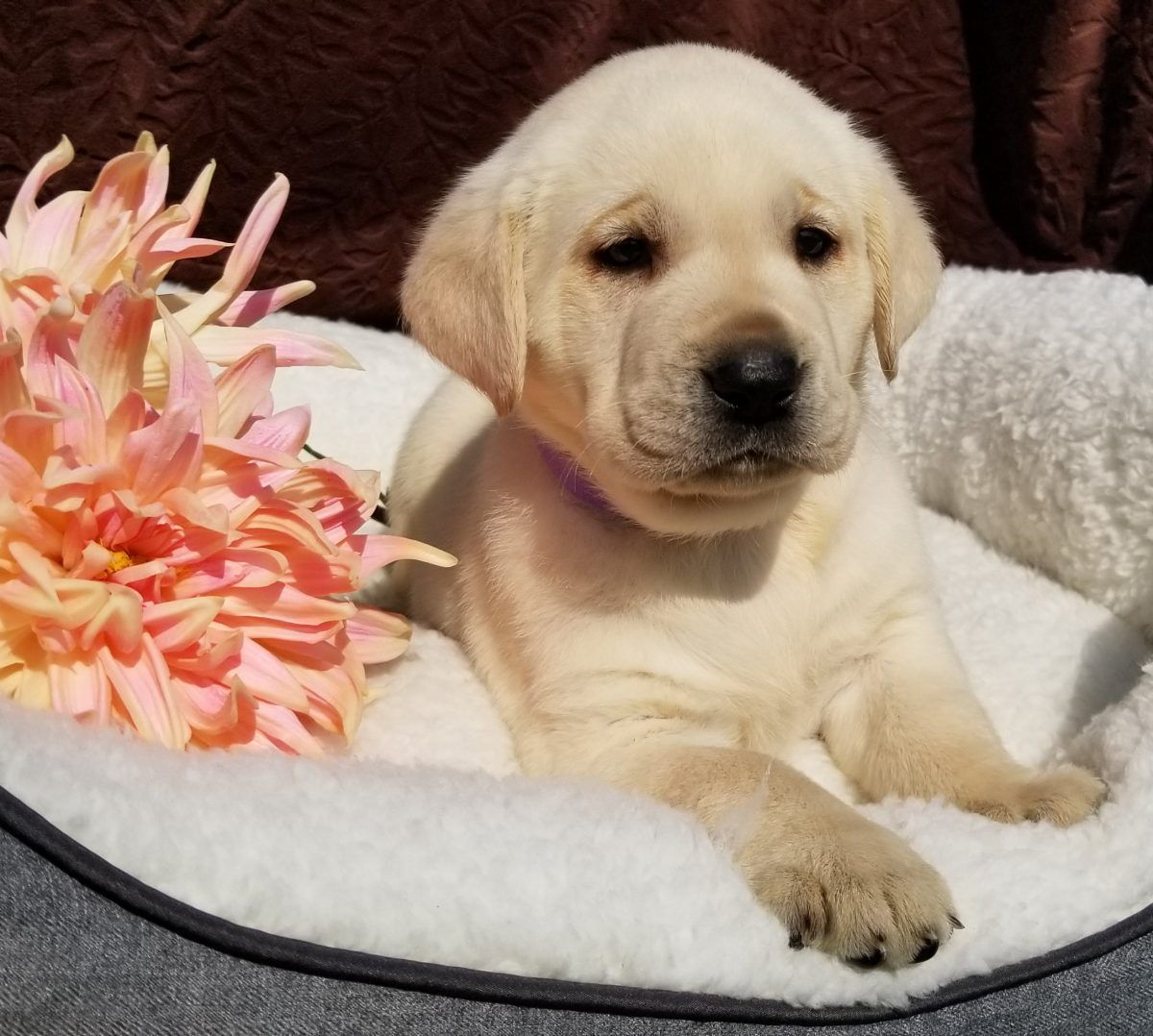 Aspen Female Labrador Retriever Pupper In Harrison Arkansas For Sale With Images Labrador Retriever Labrador Retriever