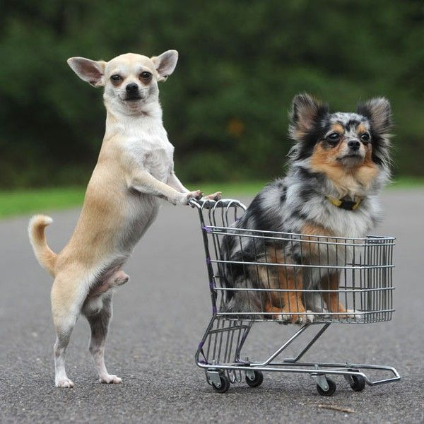 A Chihuahua Named Frivel Pushes Its Friend Merlian In A Mini Shopping Trolley In Treptow Park Berlin Germany A German D Chihuahua S Honden Schattige Dieren