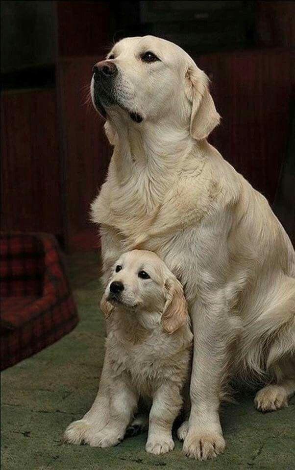 Pin Von Petra Brenner Auf Golden Retriever Babyhunde Susseste Haustiere Ausgestopftes Tier