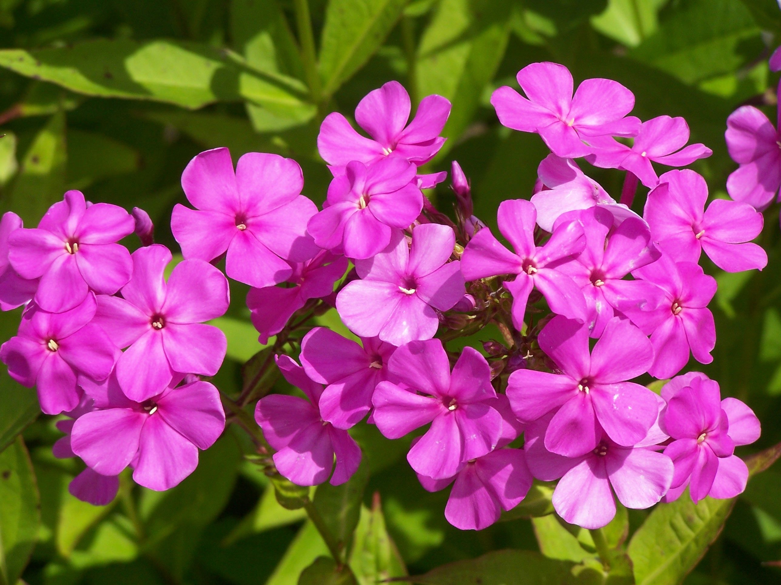 it an ask a tall or garden questions this wondering expert what phlox is original weed flower plant img