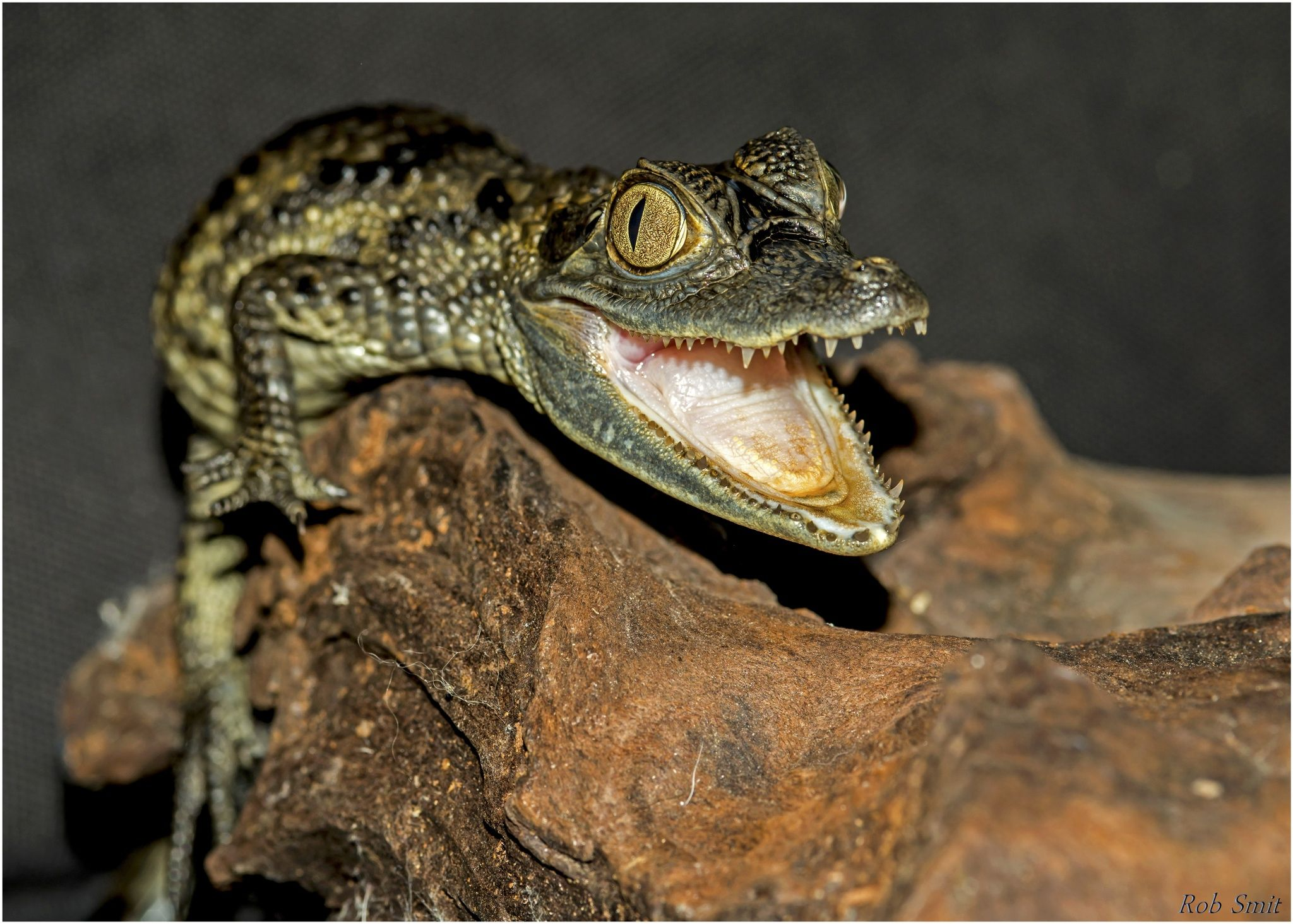 079936a598f3 Very little crocodile by Rob Smit on 500px Krokodil Cayman Kaaiman Dieren  Animals Natuur Nature Close Up Copyright  freezefotografie gmail.com Foto  door  ...