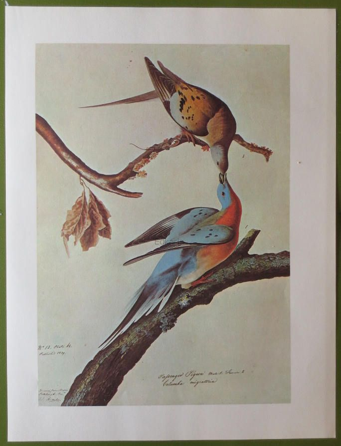 Vintage 1966 Book Plate Of Audubon Water Color Paintings